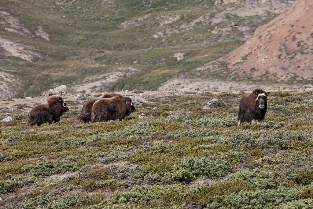 A group of muskoxes in Kangertittivaq